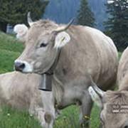 Комбикорм для крупного рогатого скота фото