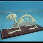 Noname Скелеты: кролика, лягушки, птицы арт. Ed16883 фото