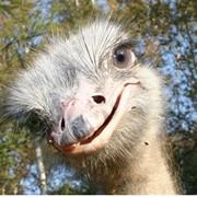 Основным направлением деятельности является разведение и содержание африканских страусов. Предоставляем возможность семейного отдыха выходного дня (экскурсии). фото