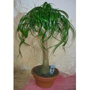 Нолина (слоновая нога). Растения для комнат. Декоративная. фото