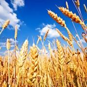 Купим зерно(пшеница,рожь,ячмень,тритикале и др.)  фото