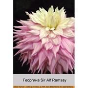 Георгина Sir Alf Ramsay фото