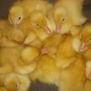 Суточные цыплята бройлеры, несушка, утята , гусята, индюк фото