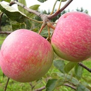 Яблоки летние фото