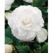 Бегония Double White 5/6 (985) фото