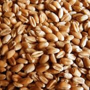Пшеница мягкая 3 класса фото