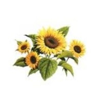 Соняшник (імпорт) 1 п.о. Аріадна Євраліс (імпорт) фото