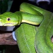 Питон зеленый фото