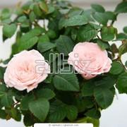Розы Чайно-гибридные фото