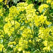 Семена Горчицы желтая фото