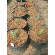 Выращивание экспериментальное Ель голубая Picea pungens фото