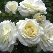 Роза плетистая Шнеевальцер (Schneewalzer) фото