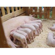 Пуріна Добавка для лактуючих свиноматок фото