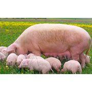 Пуріна концентрат для свиноматок фото