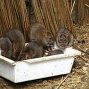 Уничтожение мышей фото
