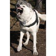 Собака-телохранитель - Белая (Немецкая) Швейцарская Овчарка (Американо-Канадская Белая Овчарка) фото