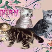 Московский питомник британских кошек VIVAN. фото