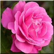 Саженцы Дамасской розы (чайной) фото