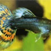 Рыбки Гуппи фото
