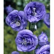 Семена Евро Колокольчик махровый синий фото