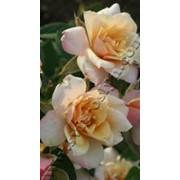 Роза Патио Ребека фото