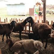Бараны, овцы, ягнята, курдючные фото