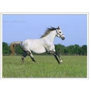 Фотосъемки лошадей - предпродажная, рекламная, художественная Предметная фотосъемка в Украине, Белгород-Днестровский фото