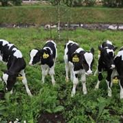 Заменитель Цельного Молока Junior+ от 20 дня (телята) фото