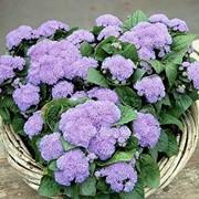 Семена цветов Агератума Алоха F1 100 шт. драже синий фото