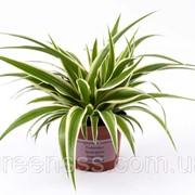 Хлорофитум хохлатый -- Chlorophytum comosum фото