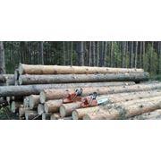 Продаємо пиловочник хвойних порід діаметром від 14 см довжиною 30 -60 метра фото