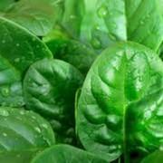Семена шпината цена( Шпинат Красавец Полесья) фото