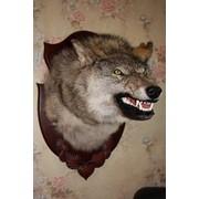 Голова волка-оскал фото