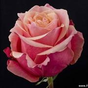 Роза Cherry brandy 01 фото