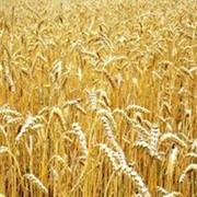 Купим пшеницу 3 класса фото