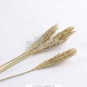 Семена ячменя фото