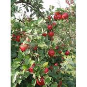 Яблоки Беларусь фото