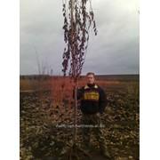 Черешня плакучая. фото