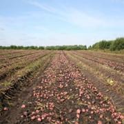 Картофель продовольственный сорт БРИЗ РЕДСКАРЛЕТ, собственного произвоства фото