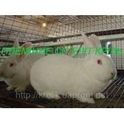 Кролики породы Термонская белая фото