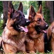 Охрана служебными собаками фото