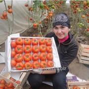 Семена томата Шарлота F1 фото