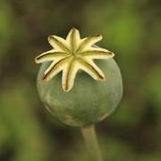Масло семян опиумного мака фото