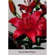 Лилия Азиатский гибрид Monte Negro фото