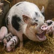 Свиноводство. фото