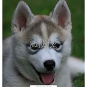 Хаски сибирские фото