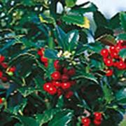 Падуб Мезерва Хекенфи (Ilex × meserveae 'Heckenfee') C1,5 фото
