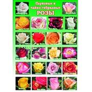 Розы парковые в Молдове 22 сорта фото
