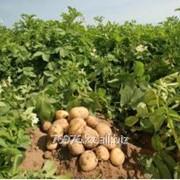 Картофель сорт «MEGUSTA», среднеранний салатный сорт фото