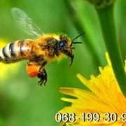 Пчёлы Карпатка.Пчелиные плодные матки,пчелопакеты фото